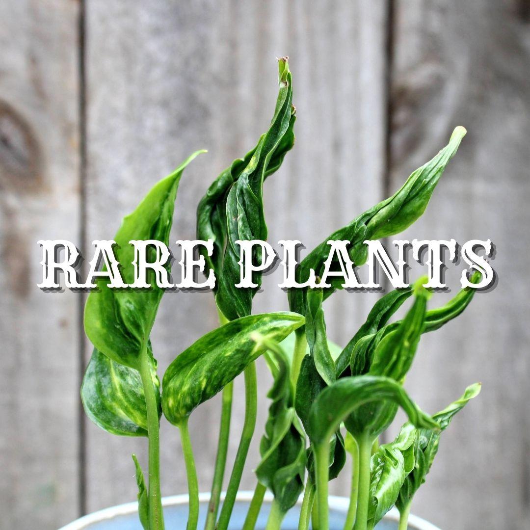 AIR PLANTS-4