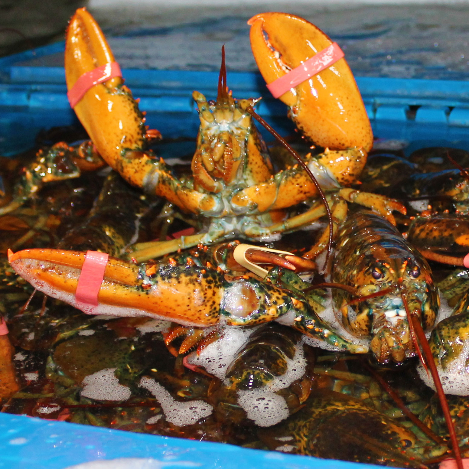 Live Lobsters & Lobster Meat