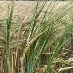 Wheat Fields of Wiltshire