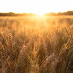 Wheat Field Wiltshire