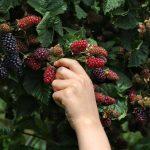 Picking Mullberry