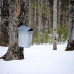 Bins collecting maple sap