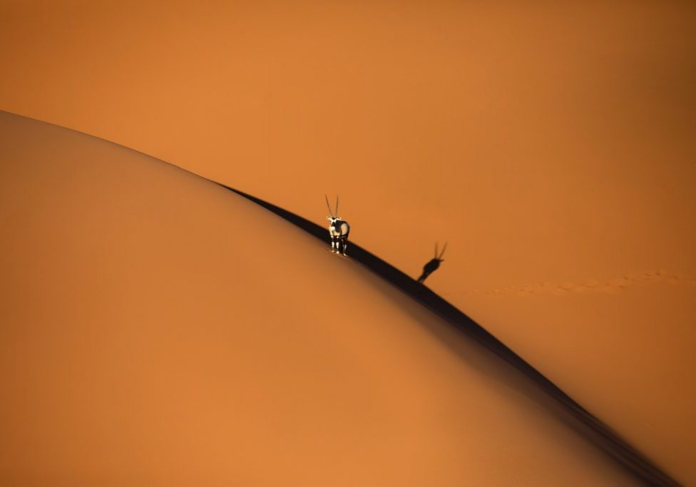 Solitary oryx standing on a sand dune in Sossusvlei desert during sunset on the edge of shadowy and light sand. Sossusvlei, Namibia.