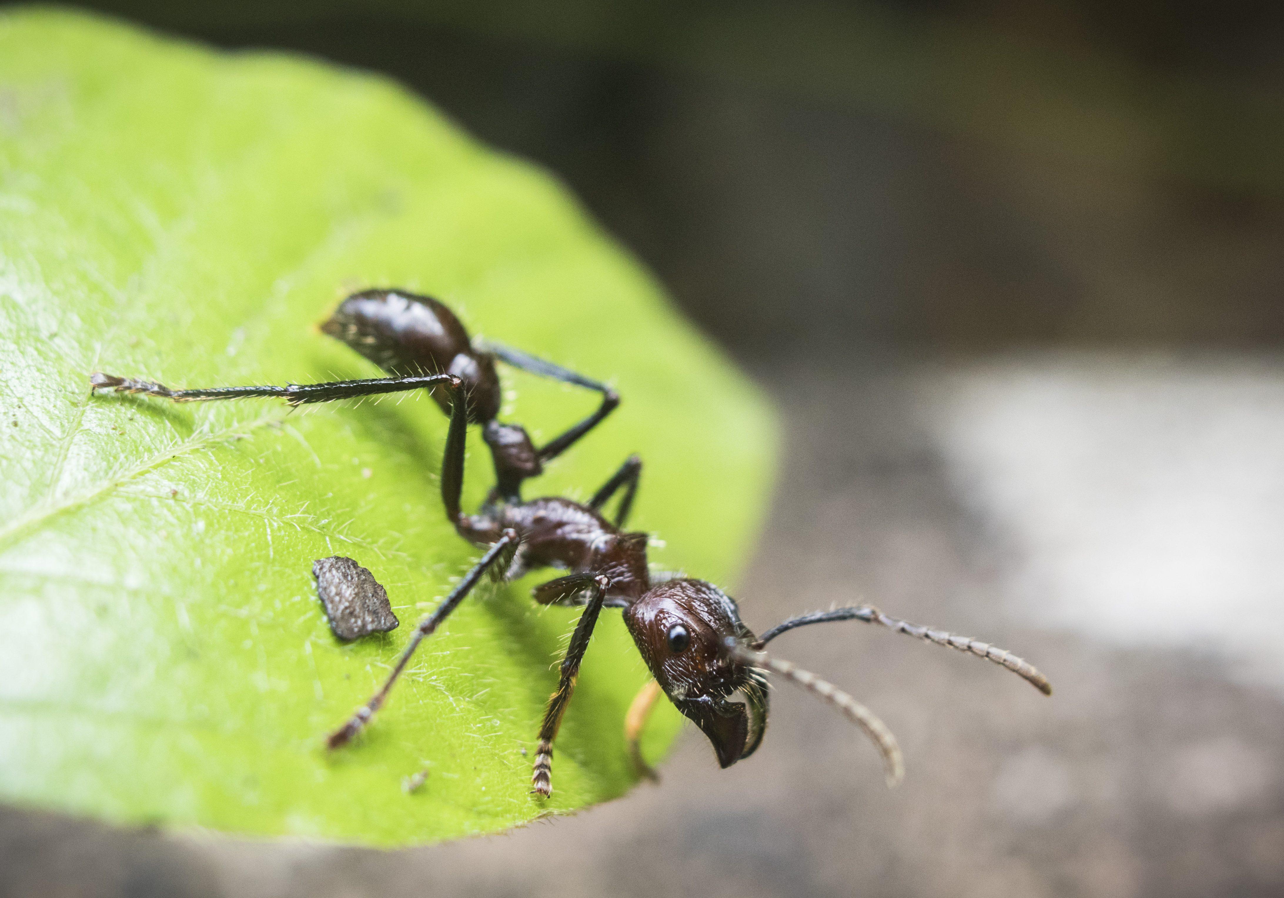 Ant;Bullet Ant;Guyana;Amazon