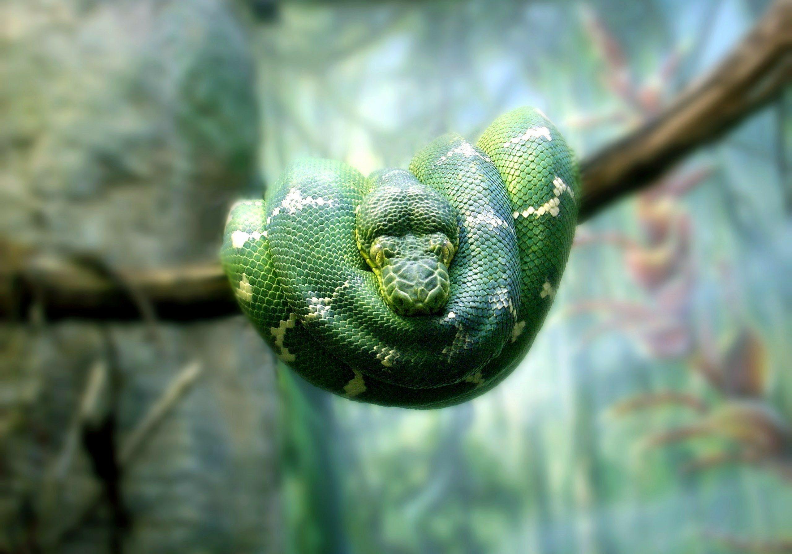 Emerald Tree Boa native to Guyana a tree dweller