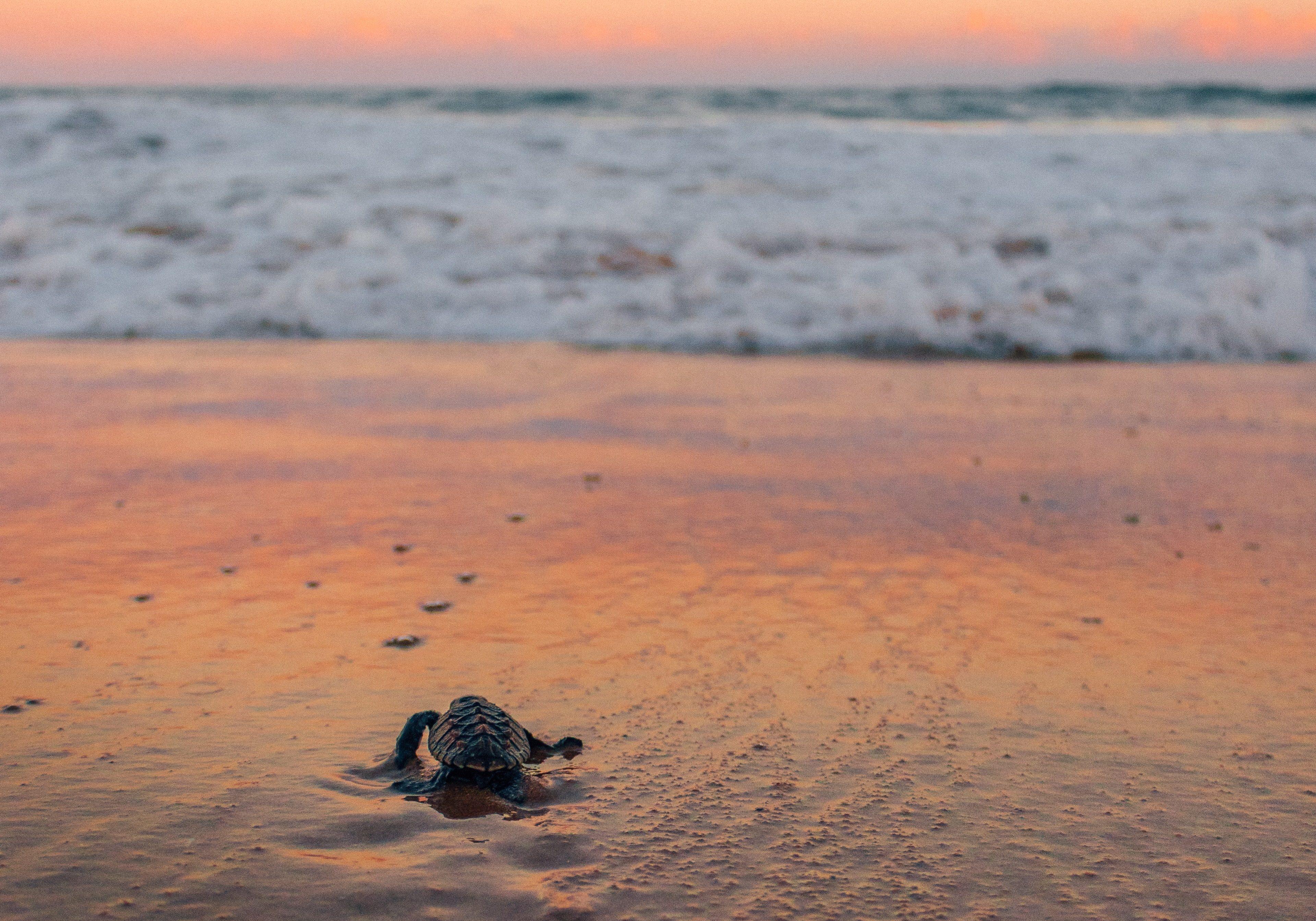 Turtle hatching on beach 1