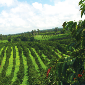 Kona Coffee Farm